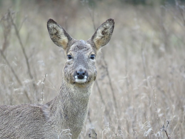 Close up Roe deer