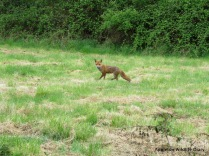 Fox has spotted me
