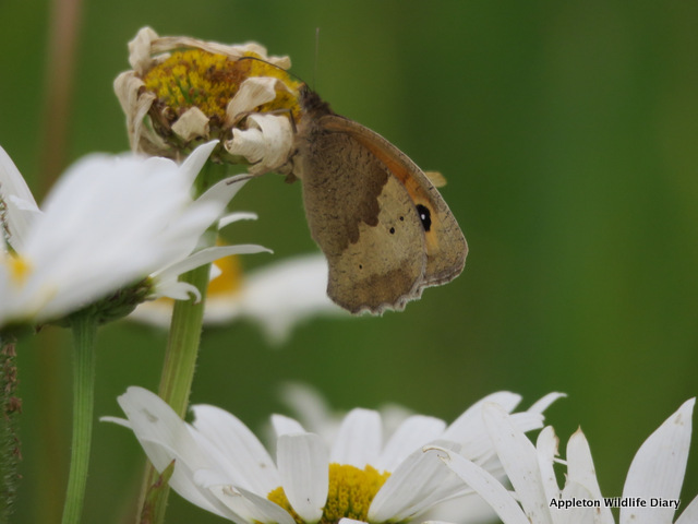 Meadow Brown on oxeye daisy