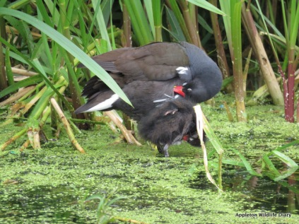 Moorhen and young