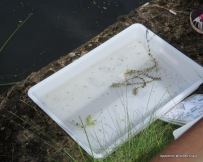Tray from pond dipping