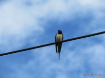 Swallow over Cumnor pond