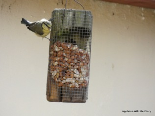 Young blue tit on feeder