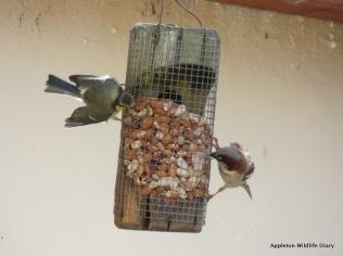 Male sparrow and blue tit on peanut feeder