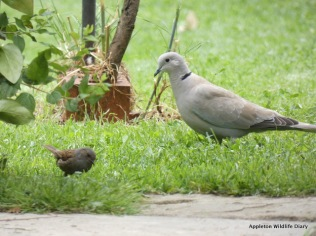 Collared dove and Dunnock