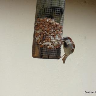 Male Sparrow on feeder