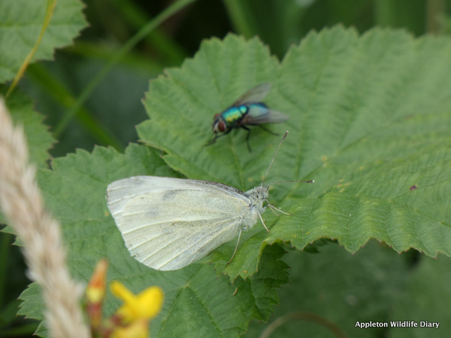 Female Small white