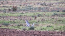 2 peregrines at RSPB Otmoor