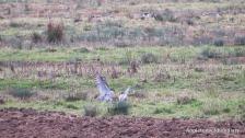2 peregrines at RSPB Otmoor