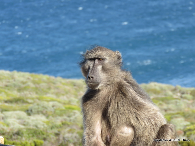 Chacma baboon on Cape point