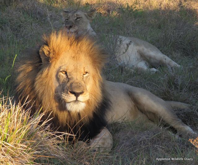 Lion in sunlight