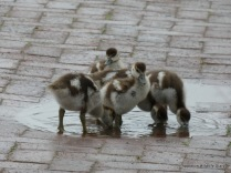 Egyptian goose chicks