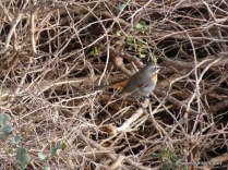 African Cape Robin-chat