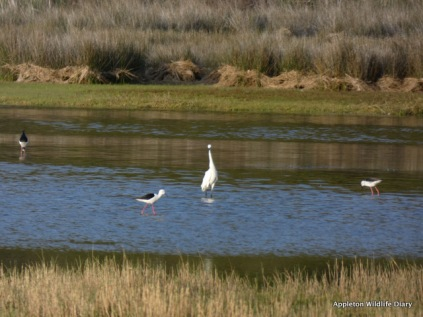Egret and Black-winged stilt