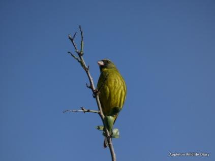Canary ?