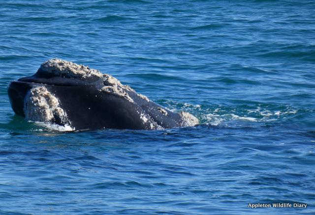 SR Whale