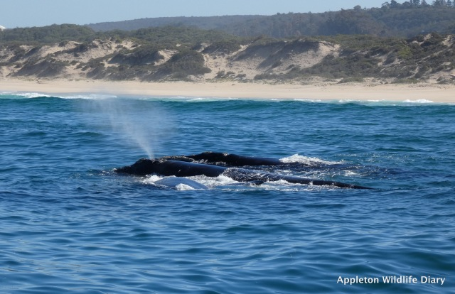 Southern Right Whale just off shore