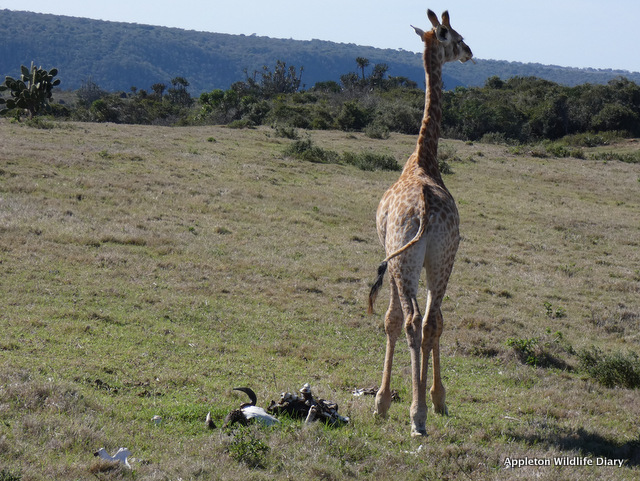 Giraffe eating bone