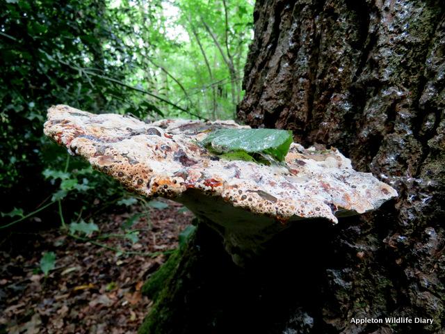 Oak Bracket
