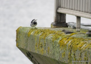 Grey and Pied wagtail