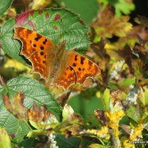Comma butterfly at Hitchcopse pit
