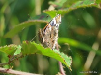 Red Admiral at Hitchcopse Pit