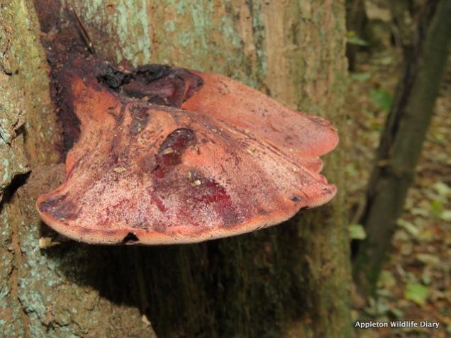 Beefsteak fungi