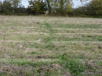 Badger trail across the meadow
