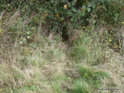 Badger trail in to the hedge