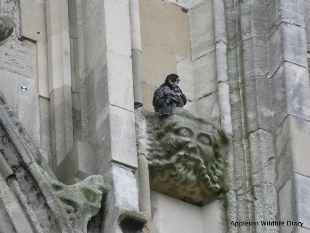 Peregrine on York Minister