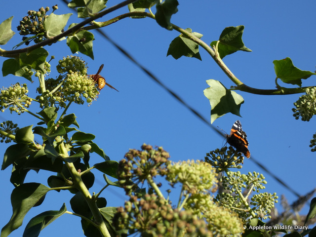 Hornet and Red admiral