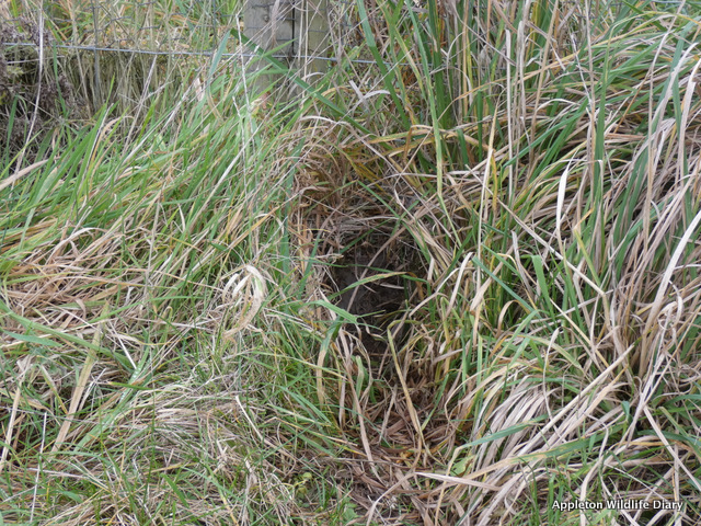 badger hole under the fence
