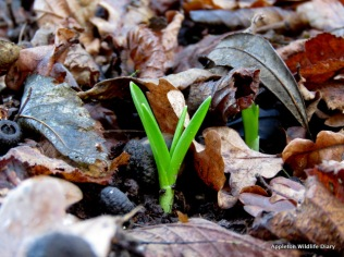 First sign of Bluebells