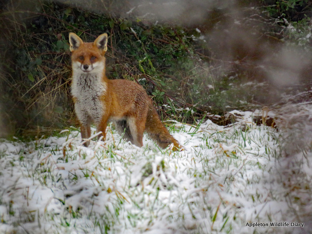 Fox in snow 2