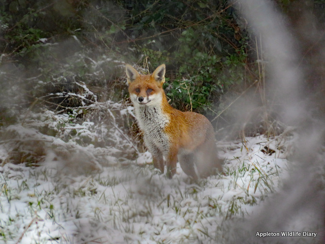 Fox in snow 5