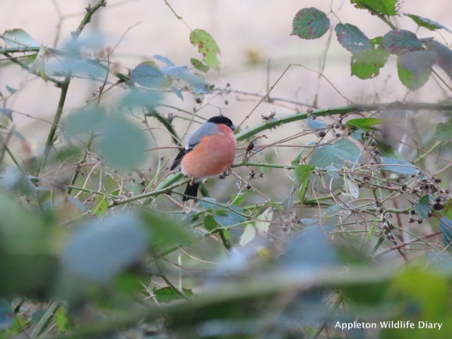 Bullfinch in Brambles
