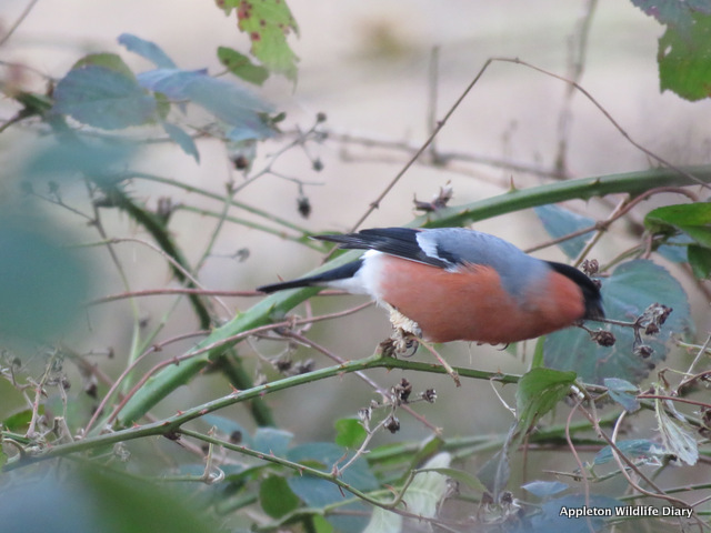 Bullfinch with possible Fringilla papillomavirus