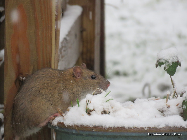 Rat in the snow