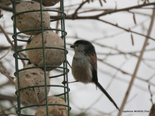 BGBW 2018 Long tailed tit