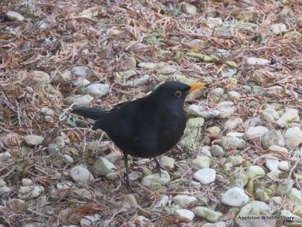 BGBW 2018 - Black bird