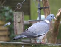 BGBW 2018 Wood pigeon