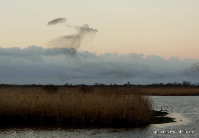 Looks like Mary Poppins - starling murmuration