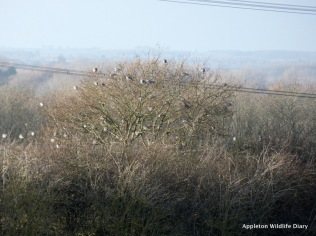 Flock of wood pigeons