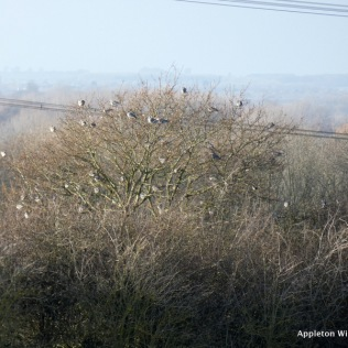 Flock of wood pigeons