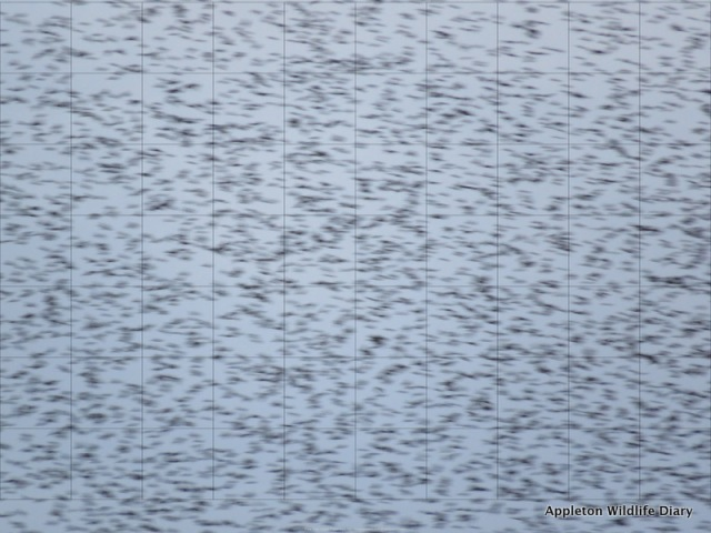 starlings with grid