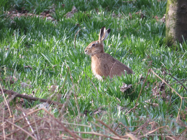 Hare in Bluebell shoots