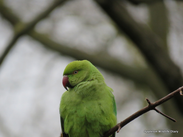 Ring necked parakeet St James's park