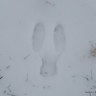 Rabbit footprint