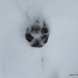 Fox footprint