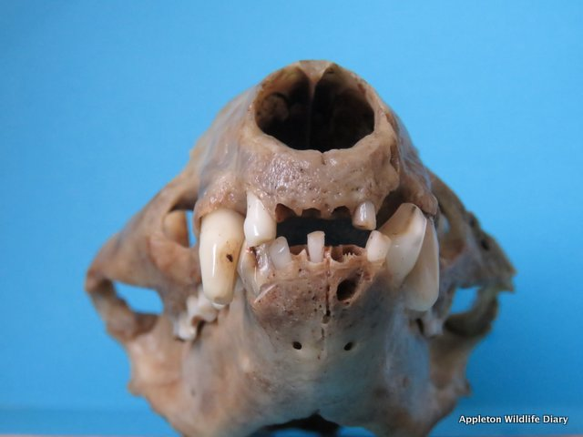 Badger skull front view